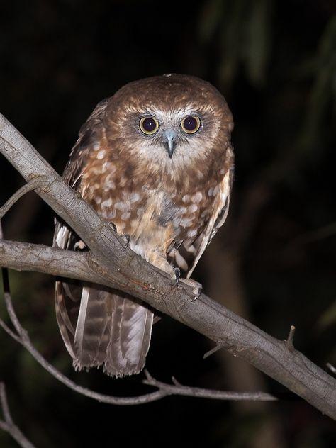 Boobook Owl (Ninox Boobook). Photo by Richard Jackson.