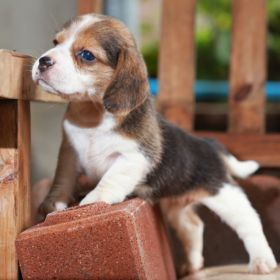 How To Train A Beagle Puppy Beagle House Training Beagle Puppy