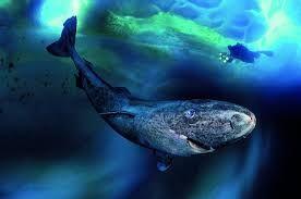 Laurent Ballesta Underwater Photographers That Photographs Water Wildlife And Captures Color Amazingly Greenland Shark Underwater Photographer Sea Animals