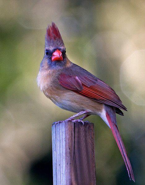 A female cardinal - foto by Robert Strickland from the We Love Birds site Pretty Birds, Beautiful Birds, Animals Beautiful, Cute Animals, Kinds Of Birds, All Birds, Love Birds, Exotic Birds, Colorful Birds
