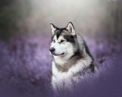 Maida 💜 - #hikingwithdogs #dogsthathike #hikingdogsofinstagram #animaladdicts #ruffpost #weeklyfluff #dogscorner #dailybarker #dogsofcanada…