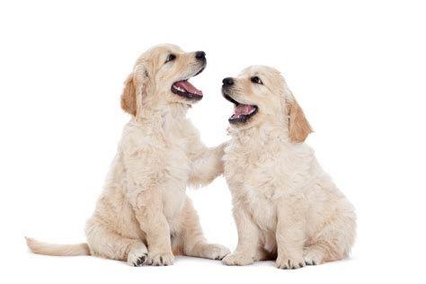 Images Golden Retriever Dog Breeds Golden Retriever Dogs
