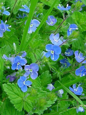 La Veronique Une Fleur Facile A Cultiver Fleurs Sauvages