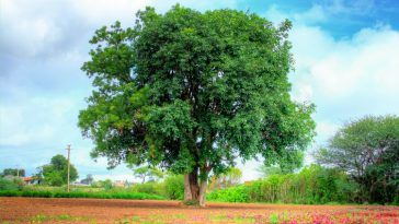 Dried Leaves Of These 3 Indian Trees Can Amplify Grain Yield Of Rice Natural Farming Wild Plants Neem