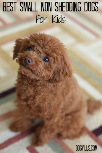 Best Small Non Shedding Dogs For Kids Dog Shedding Dogs And Kids Small Non Shedding Dogs