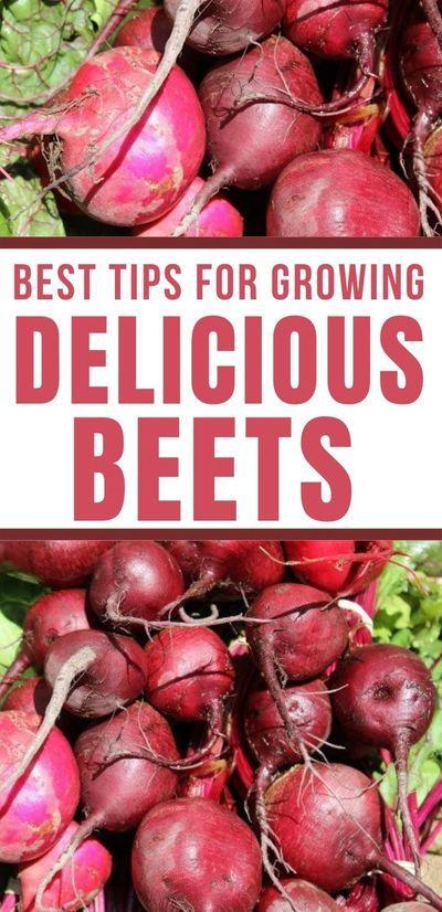 How To Grow Beets Vegetable Garden For Beginners Growing Beets Common Garden Plants