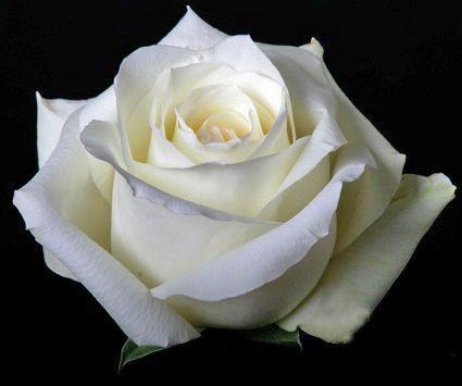 Fressko المقالات العالم الورود البيضاء تنتج للرسول ورود رومانسية Beautiful Roses White Roses Beautiful Flowers