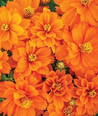 Cosmos Mandarin Orange Burpee Orange Aesthetic Orange Wallpaper Orange Flowers