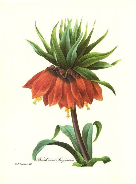 Vintage Crown Imperial Botanical Print Redoute Red Flower Art Print Gift for Gardener Birthday Housewarming Wedding  pjr 3111 by plaindealing on Etsy