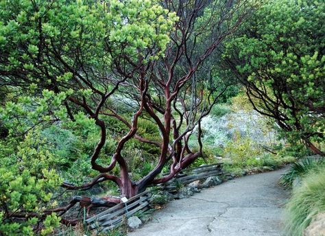 Parry Manzanita Stands Out in Low-Water Gardens Make a dramatic architectural statement and feed wildlife in woodlands and more with Arctostaphylos manzanita