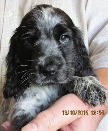 Image Result For Blue Roan Cocker Spaniel English Cocker Spaniel Puppies Spaniel Puppies Blue Roan Cocker Spaniel