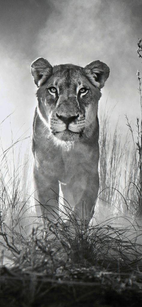 Iphone X Wallpaper Screensaver Background 037 Lion Ultra Hd