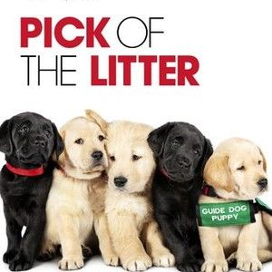 Pick Of The Litter Follows A Litter Of Puppies From The Moment They Re Born And Begin Their Quest To Become Guide Dogs For The Blind Litter Guide Dog Puppies