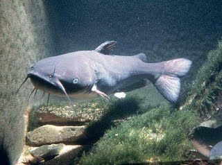 Real Catfish Fish Farming Pictures Google Search Channel Catfish Catfish Fishing Blue Catfish