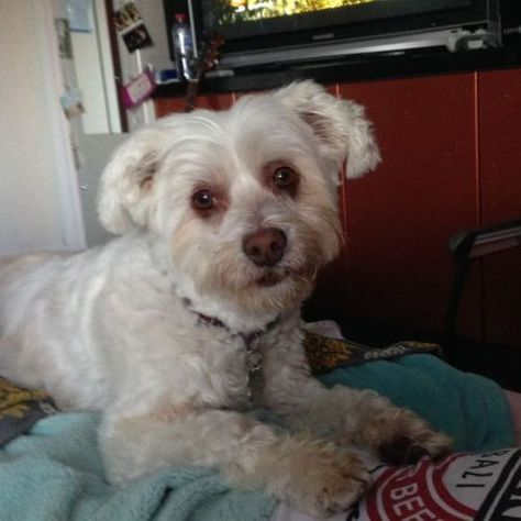 Lost Sandy Http Ow Ly Duax9 Female White Maltese Bichon X