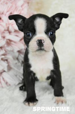 Boston Terrier Puppies For Sale Boston Terrier Puppy Boston Terrier
