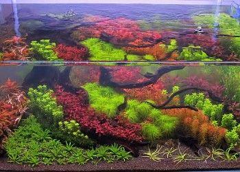 Tips And Tricks For Dutch Style Aquascaping Barr Report Forum Aquarium Plants Aquascape Planted Aquarium Red Plants