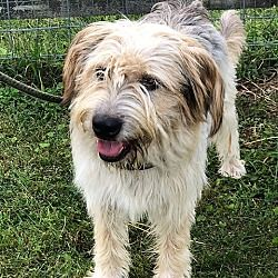Richmond Va Bearded Collie Meet Willa Foster Or Forever Home