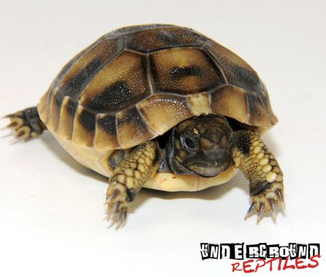Baby Hermann's Tortoise For Sale. For Jaidyn.