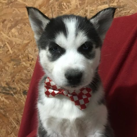 Siberian Husky Puppy For Sale In Quarryville Pa Adn 67392 On
