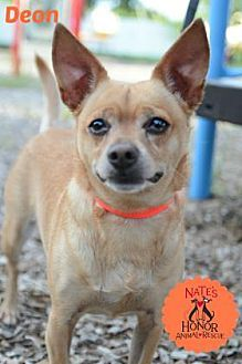 Pin By Lisa A On Adoptable Dogs Kitten Adoption Pets Chihuahua Mix