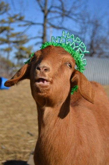 Happy New Year! It's the year of the goat.