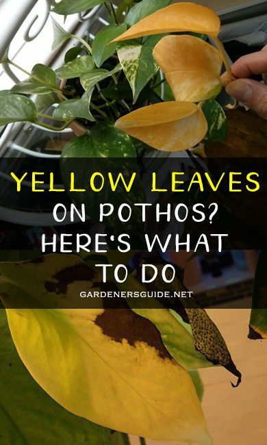 Yellow Leaves On Pothos Here S What You Need To Do Pothos Yellow Leaves Pothosyellowleaves Garde Yellow Leaves On Plants Pothos Plant Care Yellow Plants