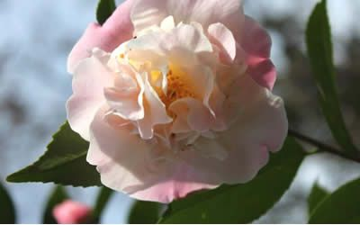Buy High Fragrance Camellia Japonica Blogs Spring And Winter Fragrant Shrubs For Winter Color Winter Colors Beautiful Flowers Buy Plants