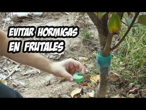 Como Eliminar Las Hormigas Del Huerto Novedosa Receta Casera Organica Y Efectiva Cosasdeljardin Youtube Arboles Frutales Hormigas Frutales