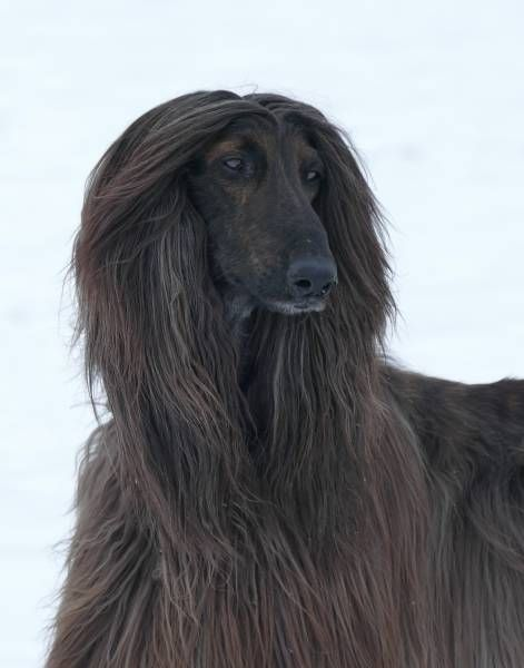 Pin By Sherry Ishol On Afghans In 2020 Afghan Hound Hound Dog Grooming