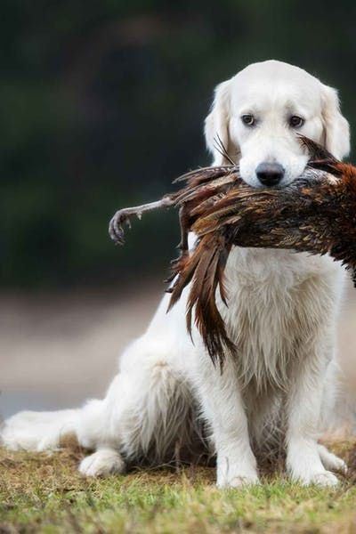 How To Train Your Dog To Hunt Pheasant Deer Hunting Tips Dogs