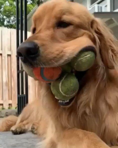 #monkoodog #smartdog #goldenretriever #retriever #retrieverpuppies #doggo #puppylove #golden #goldenlovers #goldenretrieverpuppy #goldenboy #goodboy credit:@finnyboymolloy