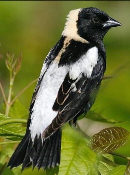 ボボリンク コメクイドリ 米食鳥 Bobolink Dolichonyx Oryzivorus Fringilla Oryzivora Emberiza Oryzivora Bird Species Beautiful Birds Colorful Birds
