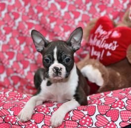 Pin By Miss L On Boston Terriers Boston Terrier Brindle