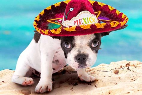 There Are Several Mexican Dog Breeds Including The Chihuahua But
