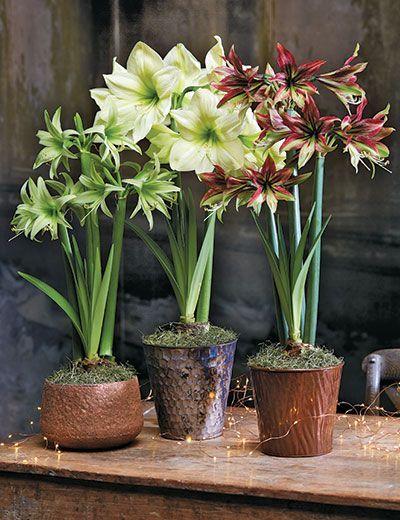 Amaryllis How To Grow Amaryllis Bulbs Gardeners Com Amaryllis Bulbs Bulb Flowers Amaryllis Care