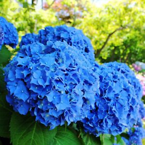 50pcs Garden Potted Blue Hydrangea Flower Seeds Flower Plant Rare Seeds Flower Seeds Hydrangea Seeds Blue Hydrangea Flowers