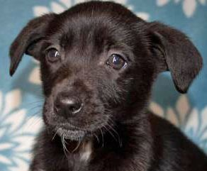 Adopt Starlight On Please Adopt Rescue Foster Terrier Mix