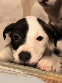 Lola Is An Adoptable American Bulldog Searching For A Forever