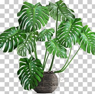 Swiss Cheese Plant Banana Leaf Philodendron Png Clipart Art Autumn Leaf Cartoon Child Clothing Free Png Dow Swiss Cheese Plant Cheese Plant Plant Cartoon