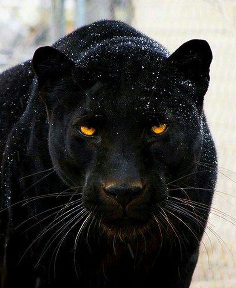Those eyes  beautiful black panther. Fun fact: Black panthers can adapt to any climatic condition and survive both cold and warm environment. This is the reason why they have been able to survive even after the endangerment of their habitats by rapid deforestation and extreme hunting.