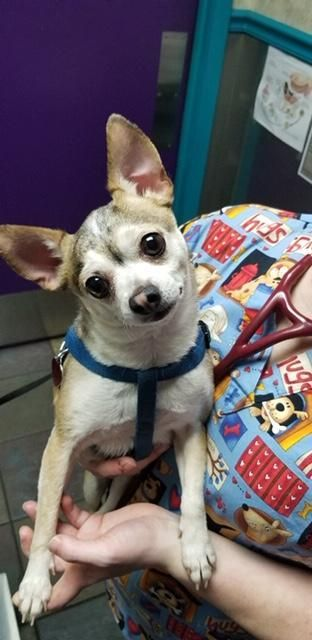 Dogs For Adoption Near Little Rock Ar Petfinder Chihuahuas