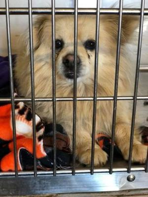 Pictures Of Frankie A Male Pomeranian For Adoption At Fresno