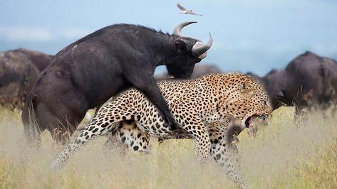 LIVE: The Fierce In Wild Animals
