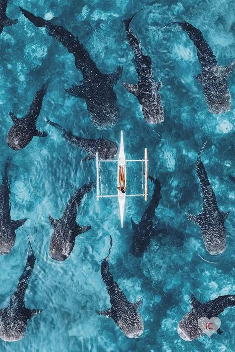 Swimming With Whale Sharks, Wale, Palawan, Big Fish, Underwater Photography, Drone Photography, Nature Photography, Ocean Life, Cebu