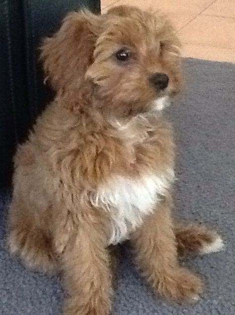 Cookie The Toy Cavoodle 16 Weeks Old Cavoodle Puppies