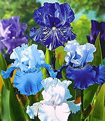 10 Mixed Iris Bulbs Reblooming Iris Rhizome Elegant Bloom Perennial Bearded Iris Flower Bulbs Iris Rhizomes Iris Flowers Bulb Flowers