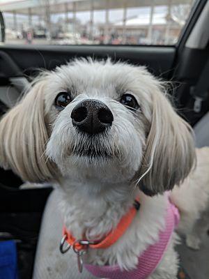 Grand Rapids Mi Maltese Meet Esmerelda A Dog For Adoption