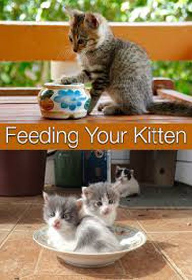 The Essentials Of Kitten Nutrition With Images Feeding Kittens Kitten Food Kitten Care