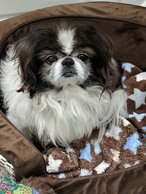 Greensboro Nc Japanese Chin Meet Gizmo A Pet For Adoption